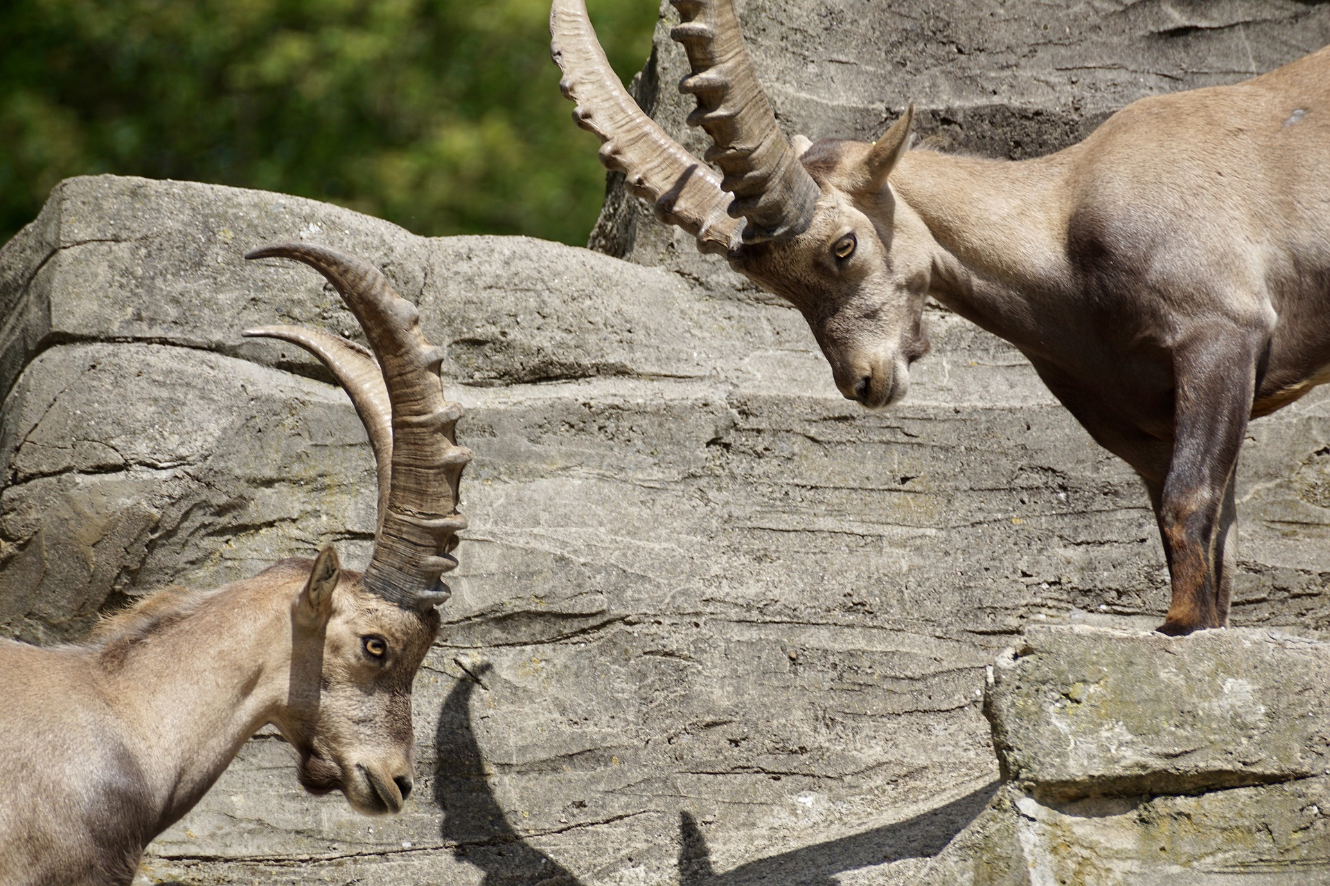 Imagen del Celo de la cabra montesa en Teruel